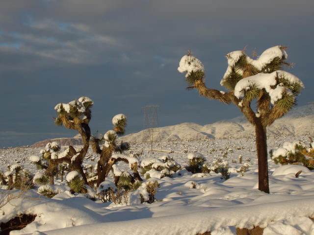 Frosted Joshua Trees