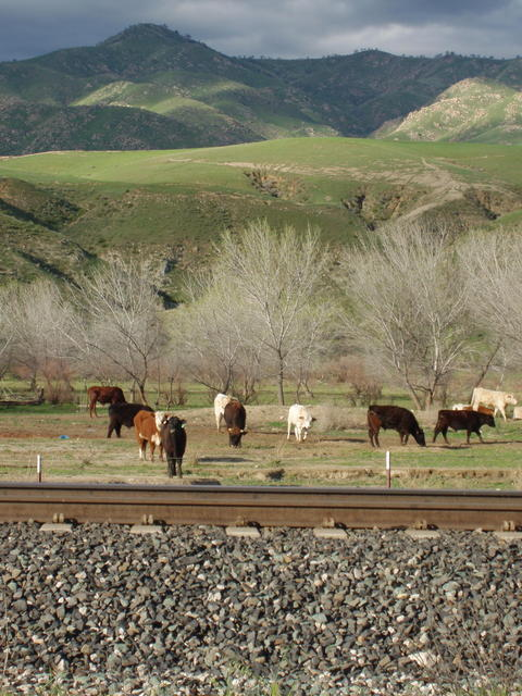 Tracks and Cows