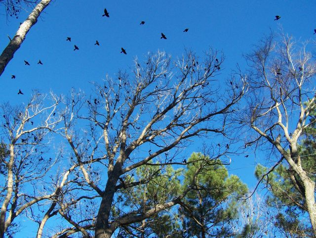 Grackles flying away