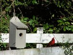 birdhouse and cardinal