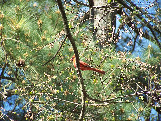 cardinal in tree close