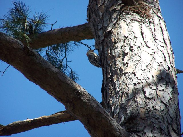 woodpecker pecks tree