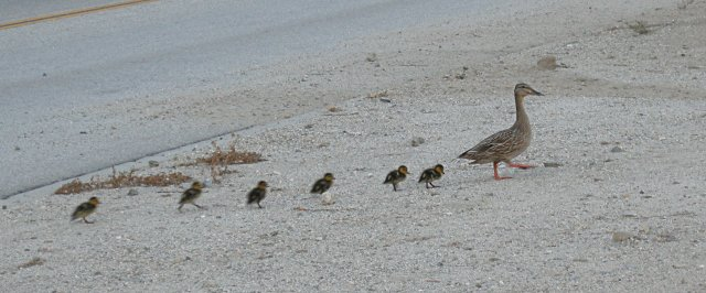 Mother Duck and Ducklings Walking