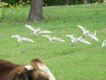 Cattle egret flying