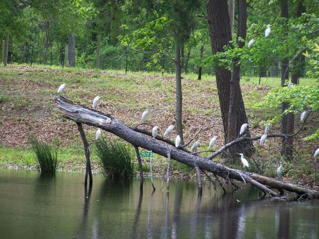 Lots of Cattle Egrets