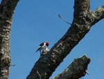 Red-Headed Woodpecker Pecking