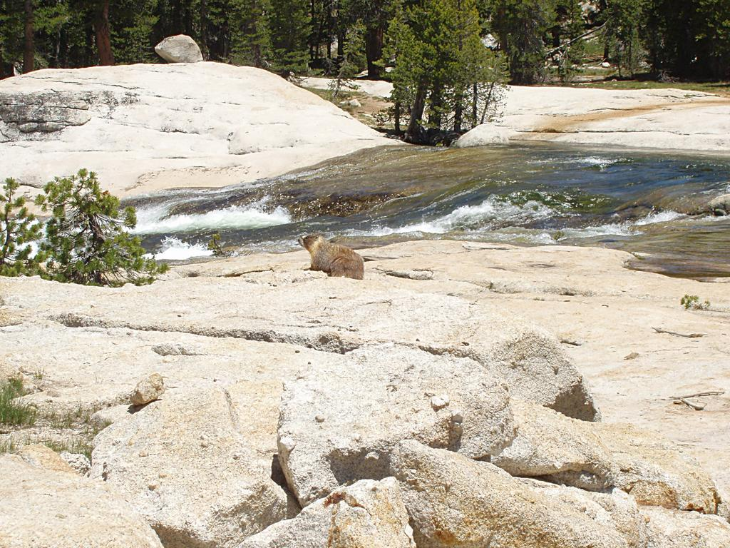 Yellow Bellied Marmot at the Tuolumne River
