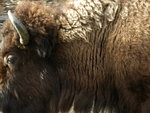 Bison too close