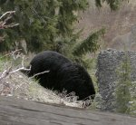 Black bear at Tower Falls