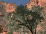 Live tree and cliffs, Zion National Park