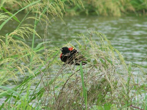 Red-winged Blackbird, Lake Forest Park