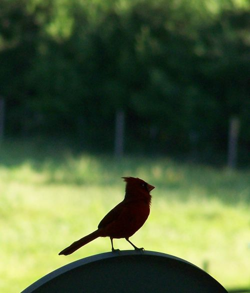 Cardinal in silhouette