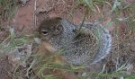 Squirrel eating grass seeds at Zion National Park