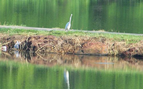 Great Egret, Lake Forest Park