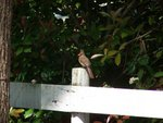 Female Cardinal on Fence