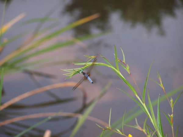 Dragonfly at Lake Forest Park, Henderson, Texas