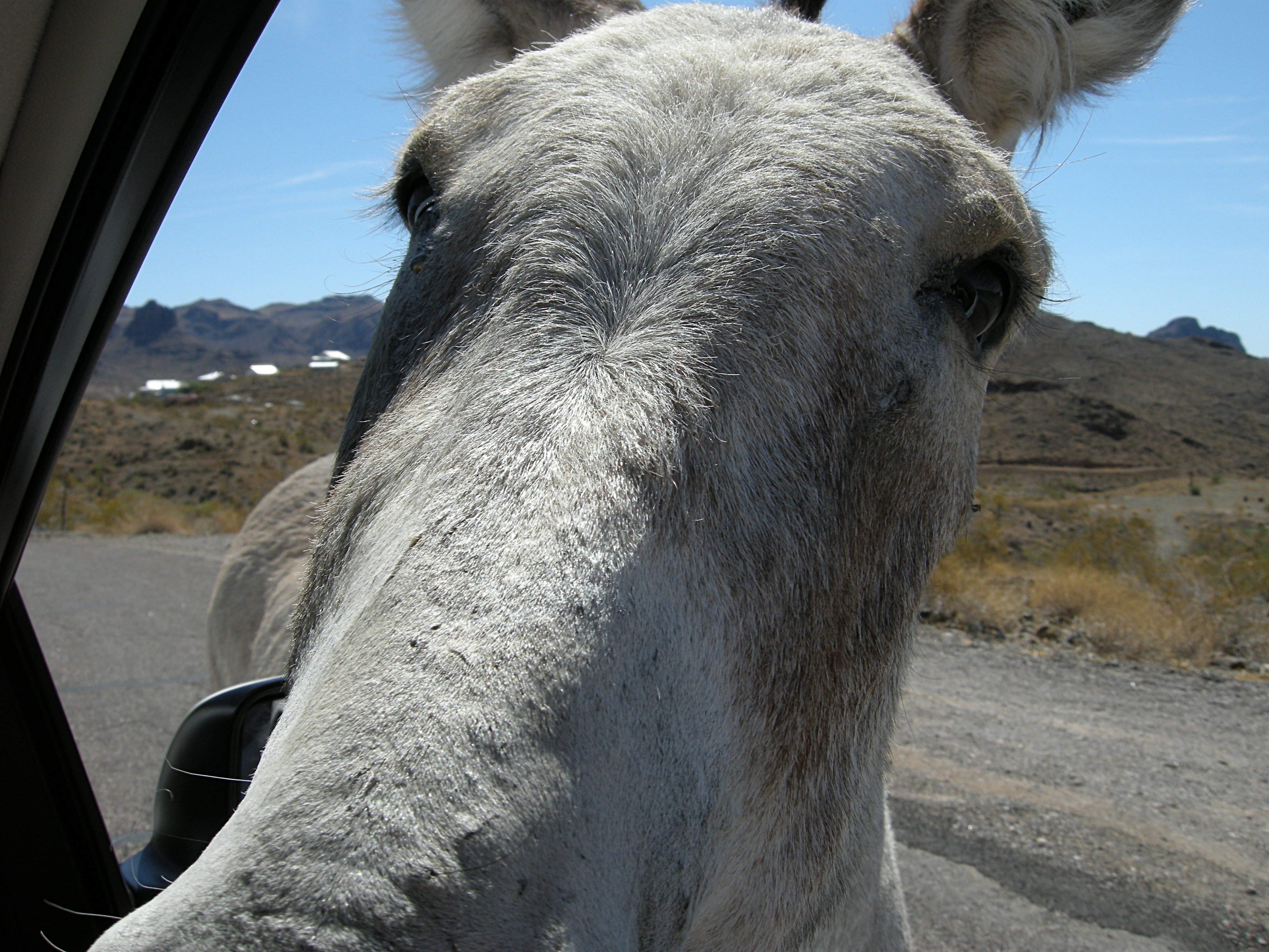 Attempted car jackassing? Nosy Wild Burro!