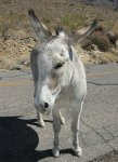 Friendly Wild Burro in Arizona
