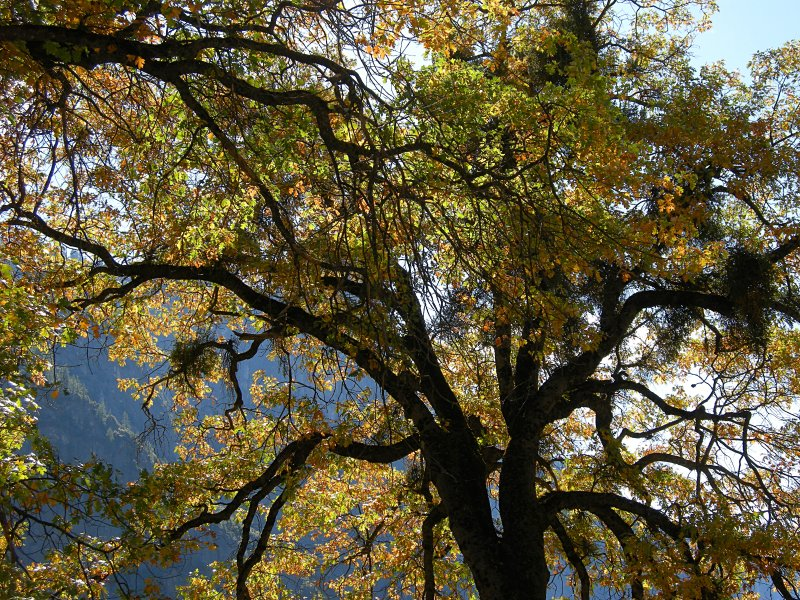 Fall color in a Yosemite Valley oak