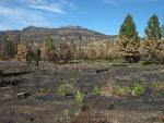 Plants are appearing after the Big Meadow Fire