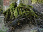 Tree roots on the bank of the Merced River