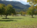 Walnut Trees Near Ojai