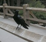 Common Raven at Lower Yosemite Falls