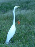 Great Egret at Bolsa Chica Wetlands