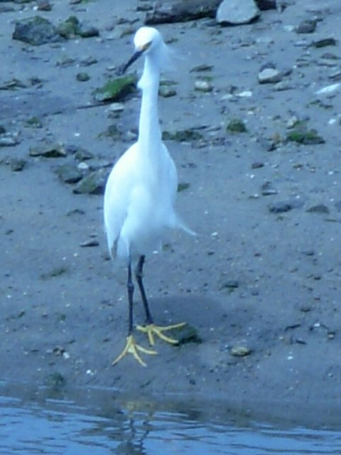 Snowy Egret with 'tude