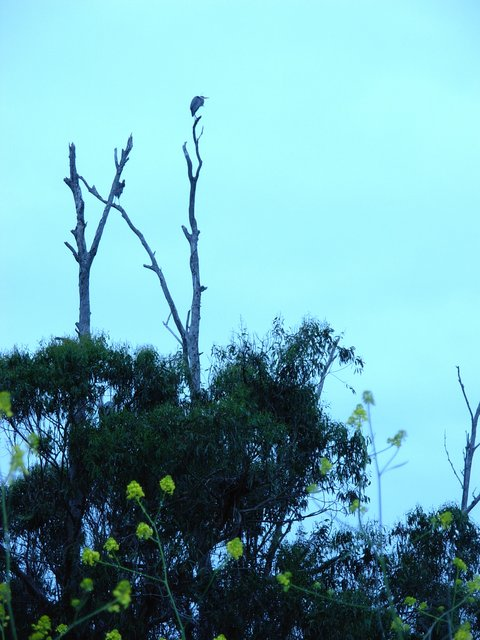 Great Blue Heron Roost