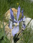 Wild Iris at North Lake