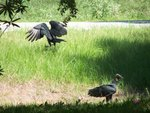Vultures in our front yard
