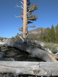 Tree at Tioga Pass
