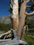Split Tree at Tioga Pass