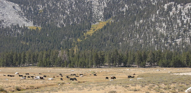 Grazing at Horseshoe Meadow
