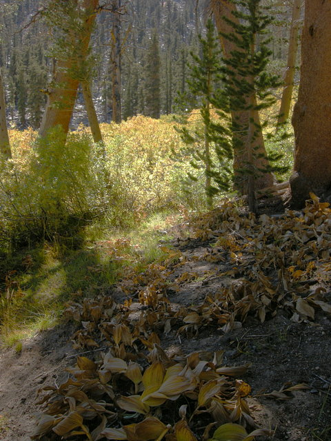 Fall color on the Cottonwood Pass Trail