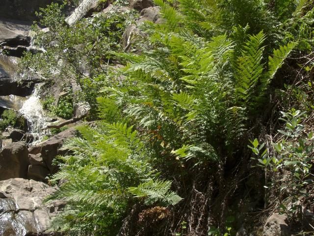 Giant Chain Fern