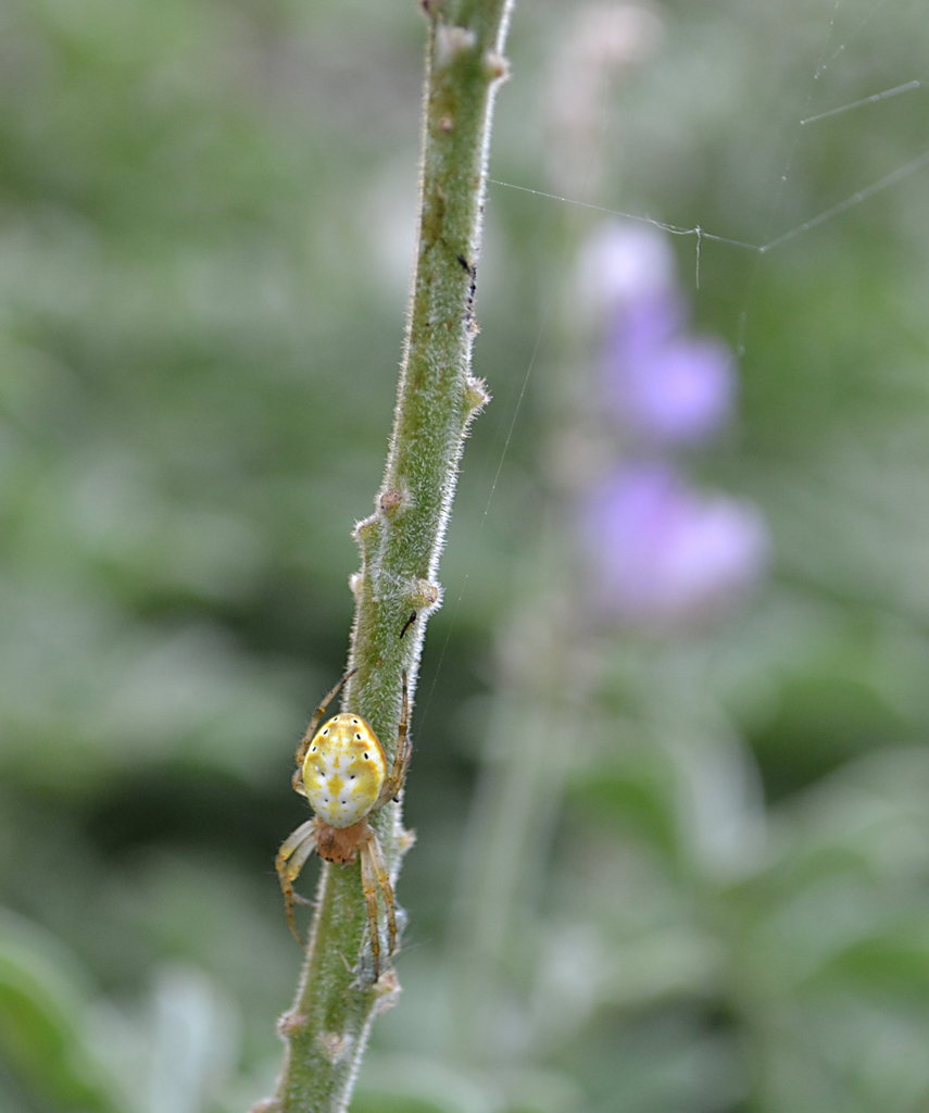 Spider on a lupine