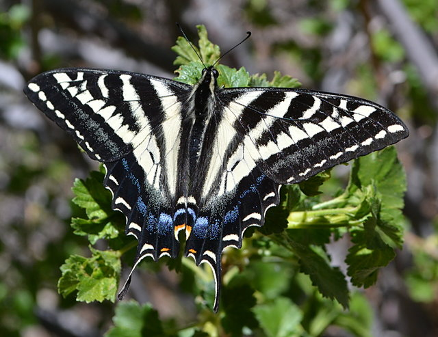 Pale swallowtail butteryfly
