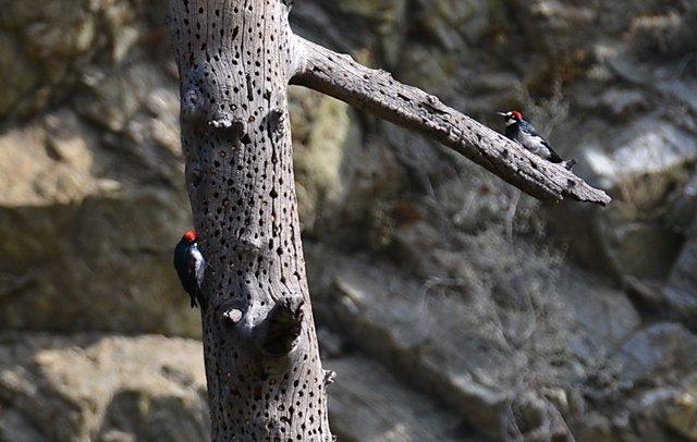Two Woodpeckers