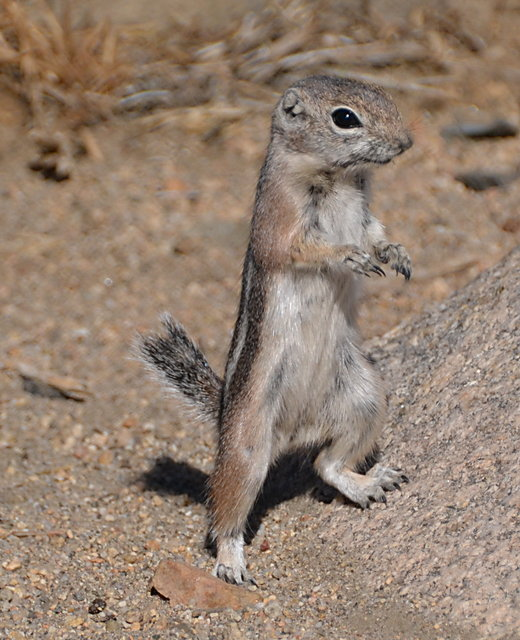 Squirrel Standing