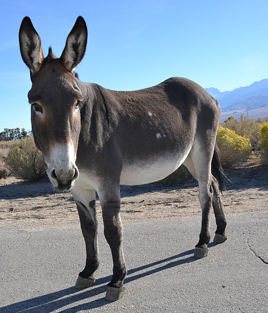 Wild Burro in Owens Valley