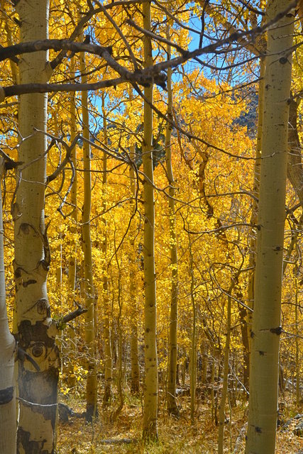 Aspen in fall colors