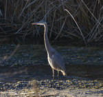 Great Blue Heron at the Owens River