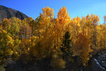 Fall color - Aspen near Grant Lake