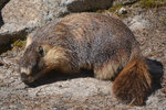 Marmot on the May Lake Trail