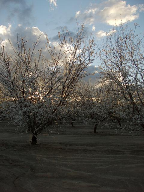 Almond Blooms at Sunset