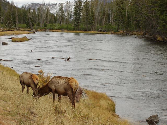 Female Elk at the Madison River, Yellowstone National Park