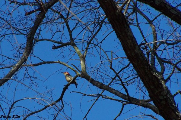 Red-bellied woodpecker at MCL