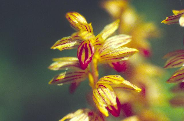 Striped Coral Root Close-Up
